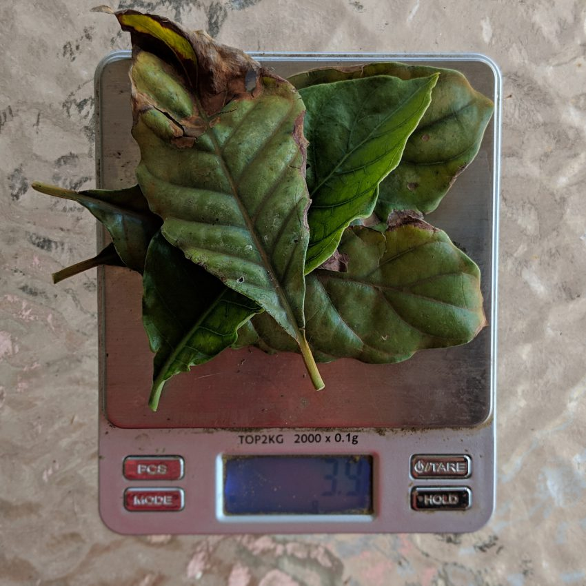 Weighing 3 fresh p. viridis leaf on a scale