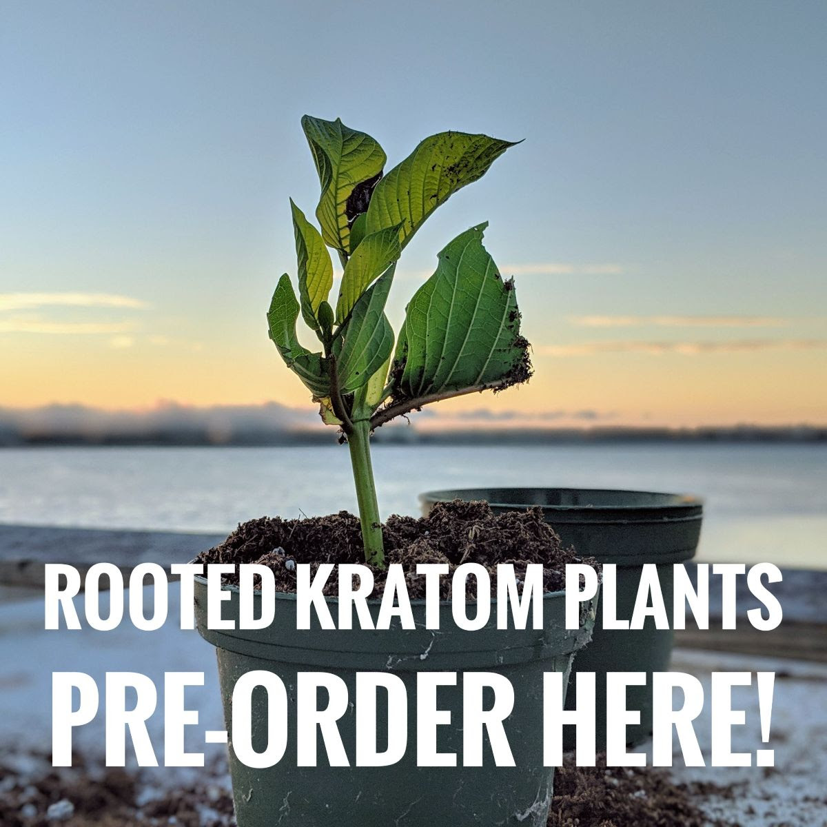 preorder rooted cuttings banner
