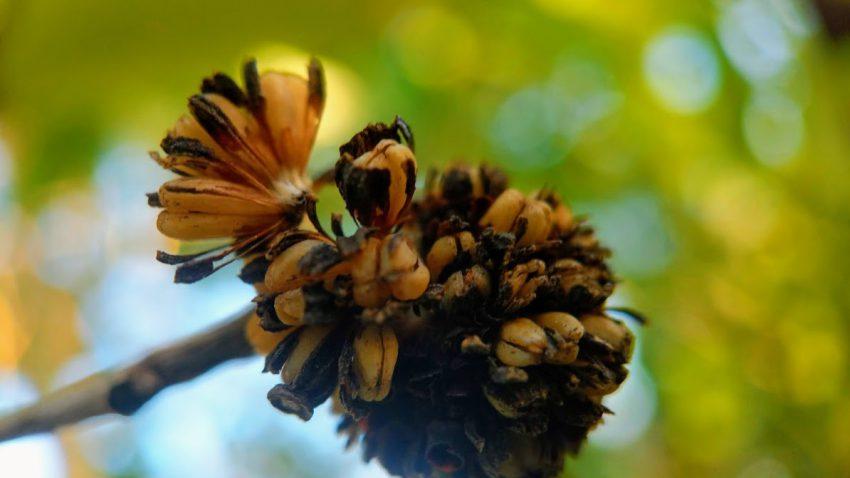 Buy Red Vein Malay Kratom seed pods