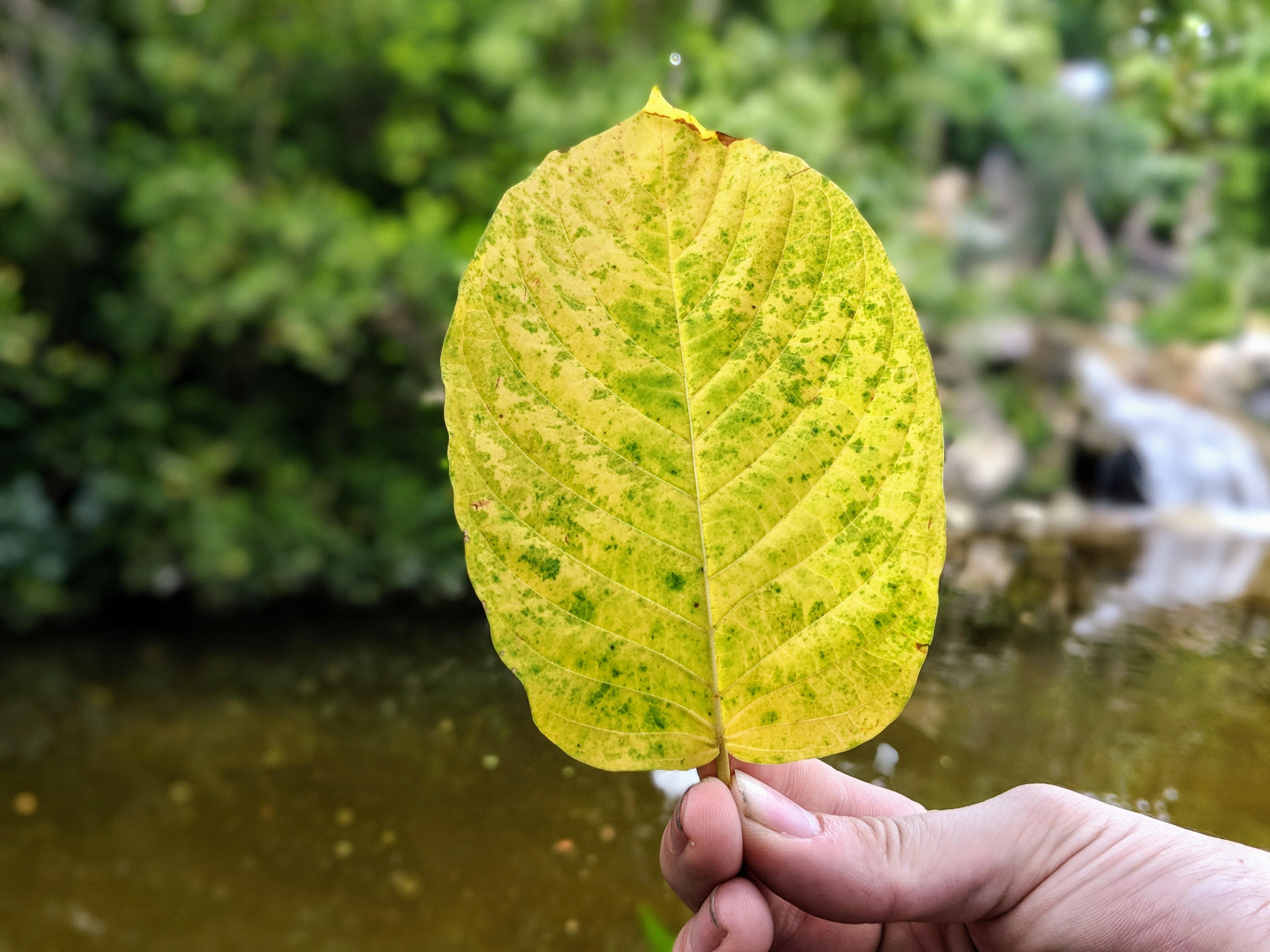 Maeng Da Thai Kratom leaf for sale freeship