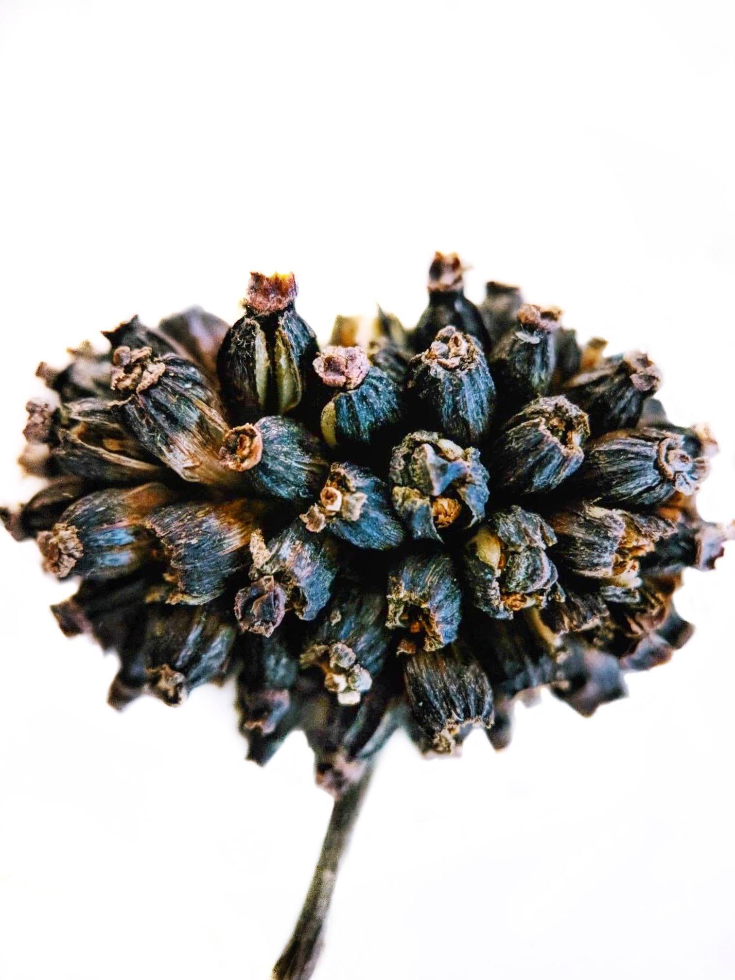 Fully Mature Fertile Kratom Seed Pods