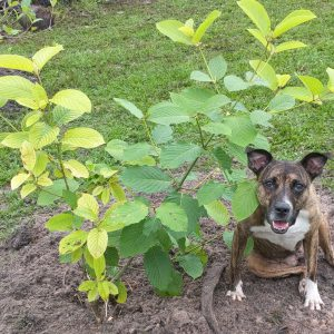 Happy Dog Kratom Tree