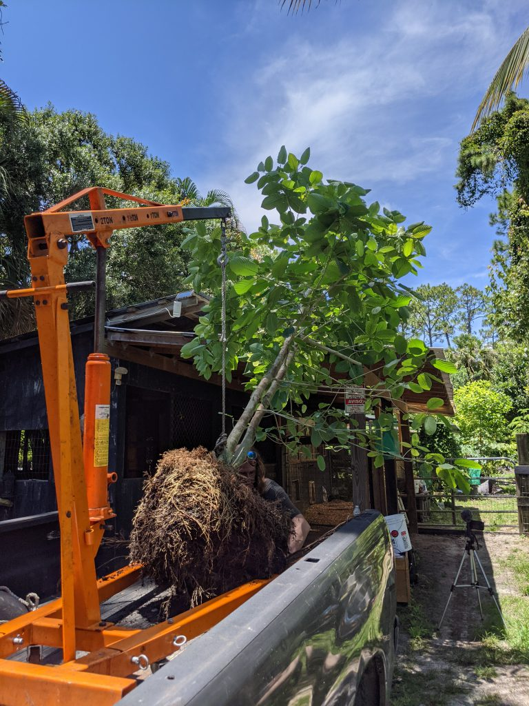 kratom tree being held by a engine lift